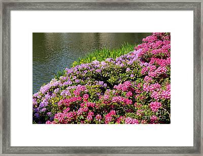 Rhododendron Or Azalea Luxuriant Park In Warsaw  Framed Print by Arletta Cwalina