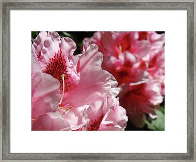 Rhododendrons Art Prints Floral Pink Rhodies Canvas Baslee Troutman Framed Print