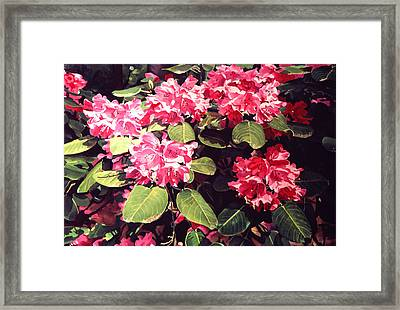 Rhododendrons Rothschild Framed Print by David Lloyd Glover