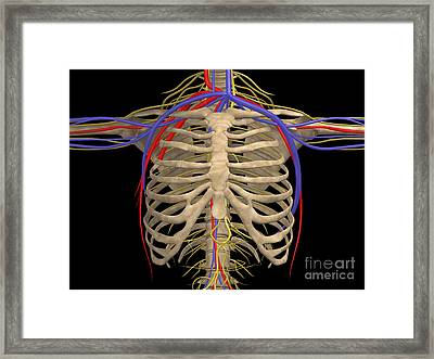 Rib Cage With Nerves, Arteries Framed Print by Stocktrek Images