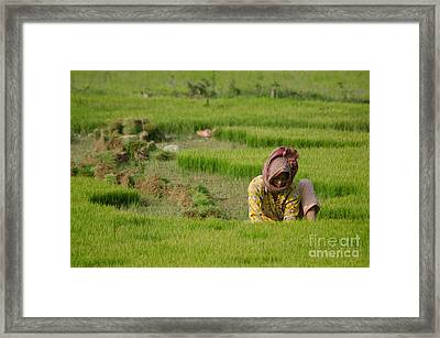 Rice Field Worker Harvests Rice In Green Field In Southeast Asia Framed Print
