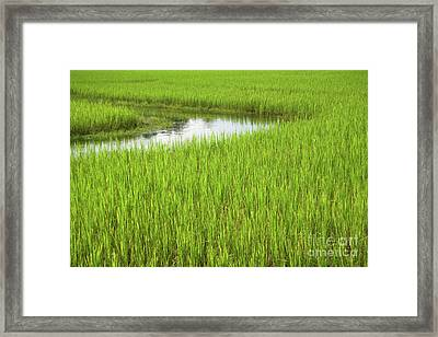 Rice Paddy Field In Siem Reap Cambodia Framed Print