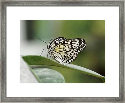 Framed Print featuring the photograph Rice Paper Butterfly - 2 by Paul Gulliver