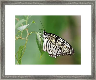 Framed Print featuring the photograph Rice Paper Butterfly by Paul Gulliver