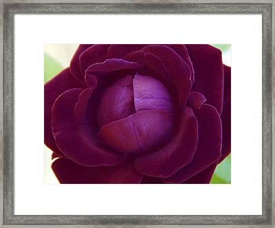 Rich Purple Lettuce Rose Framed Print by Samantha Thome