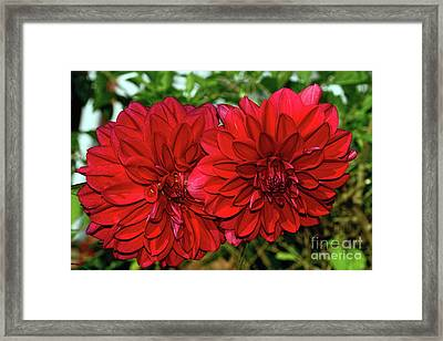 Framed Print featuring the photograph Rich Red Dahlias By Kaye Menner by Kaye Menner