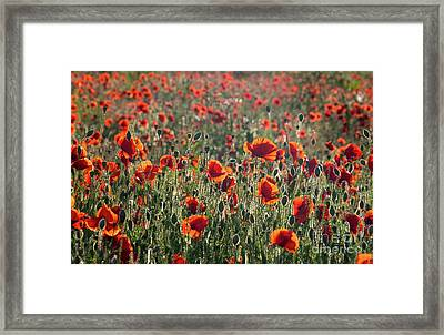 Framed Print featuring the photograph Rich Red Poppys by Paul Farnfield