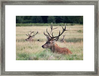 Richmond Park Stags Framed Print