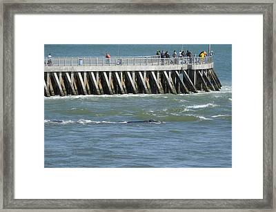 Right Whale At Sebastian Inlet Framed Print