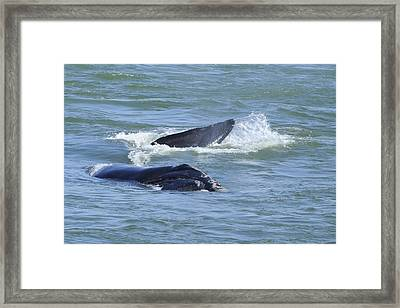 Right Whale Head And Tail Framed Print