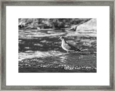Ring-billed Gull Bw Framed Print