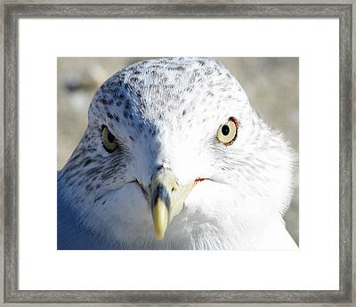 Ring Billed Gull Framed Print