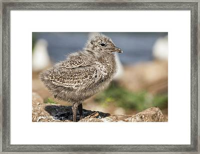 Framed Print featuring the photograph Ring-billed Gull Chick 2016-1 by Thomas Young