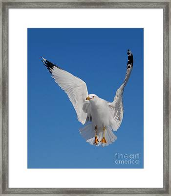 Ring Billed Gull In Flight Framed Print by Mircea Costina Photography