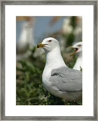 Ring-billed Gull Framed Print by James Peterson