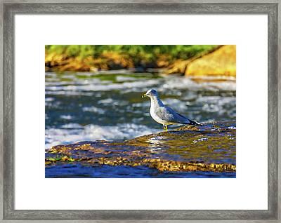 Ring-billed Gull Framed Print