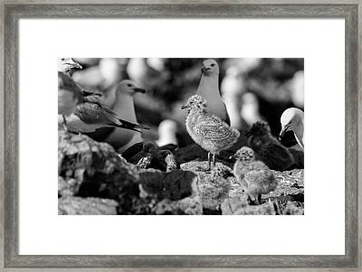 Framed Print featuring the photograph Ring-billed Gulls 2016-1 by Thomas Young