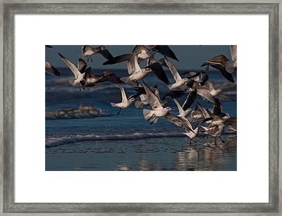 Ring-billed Gulls At Kiawah Island Framed Print