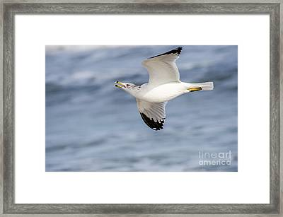 Ring-billed Seagull Looking For Attention Framed Print