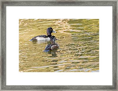 Ring-necked Couple Framed Print by Kate Brown