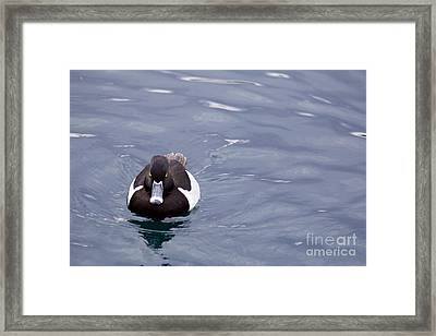 Ring-necked Duck Framed Print by Afrodita Ellerman