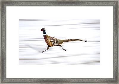 Ring Necked Pheasant Framed Print by Mark Duffy