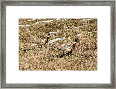Ring-necked Pheasant Pair Framed Print by Mike Dawson
