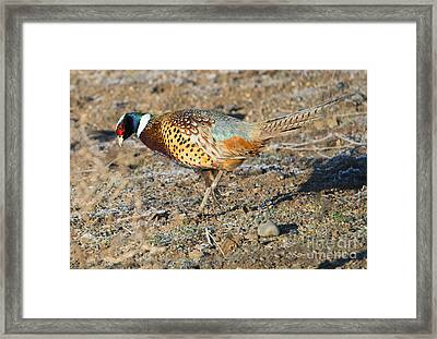 Ring-necked Pheasant Rooster Framed Print by Mike Dawson