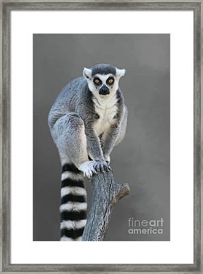 Ring-tailed Lemur #6 V2 Framed Print