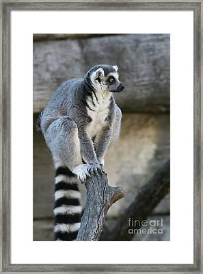 Ring-tailed Lemur #7 Framed Print
