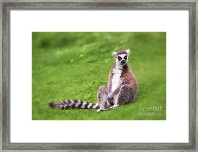 Ring Tailed Lemur Framed Print by Amanda Elwell
