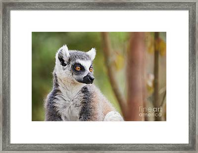 Framed Print featuring the photograph Ring-tailed Lemur Closeup by Nick Biemans