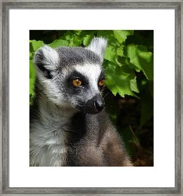 Ring-tailed Lemur In Summer Sun Framed Print by Margaret Saheed