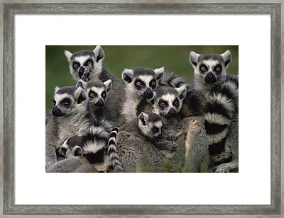 Ring-tailed Lemur Lemur Catta Group Framed Print by Gerry Ellis