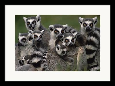 Lemur Sp Framed Prints