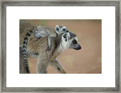 Ring-tailed Lemur Mom And Baby Framed Print