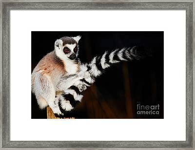 Ring-tailed Lemur  Framed Print by Nick Biemans