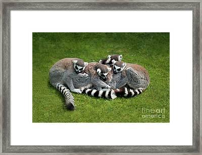 Ring Tailed Lemurs Framed Print by Amanda Elwell
