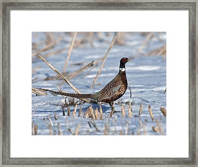 Ringneck Pheasant Rooster In Snow Framed Print