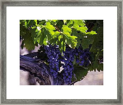 Ripe Grapes Framed Print by Garry Gay