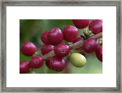 Framed Print featuring the photograph Ripe Kona Coffee Cherries by Susan Rissi Tregoning