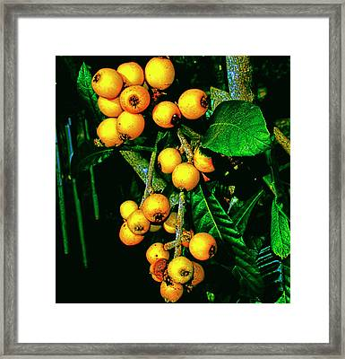 Ripe Loquats Framed Print by Gina O'Brien