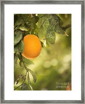Ripe Orange Framed Print by Juli Scalzi