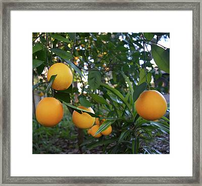 Ripe Oranges Framed Print by Aimee L Maher Photography and Art Visit ALMGallerydotcom