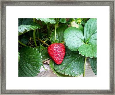 Ripe Strawberries In A Garden Framed Print by Lanjee Chee