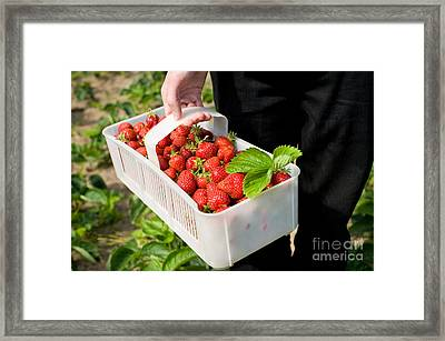 Ripe Strawberries In White Plastic Punnet  Framed Print by Arletta Cwalina