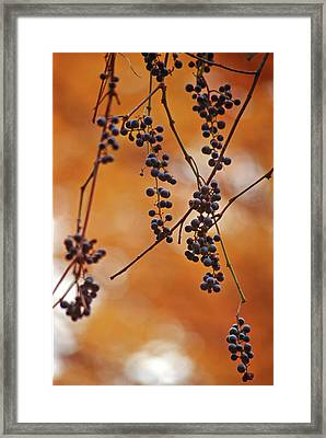 Ripe Wild Grapes  Framed Print