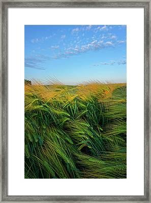 Ripening Barley Framed Print