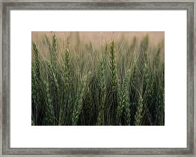 Ripening Wheat No. 2 Framed Print by Al White