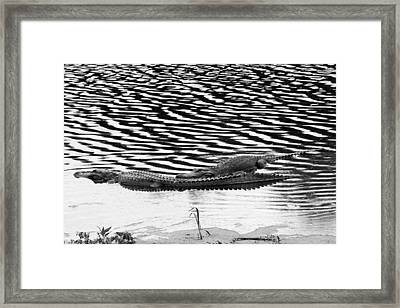 Framed Print featuring the photograph Ripped Aligators by Farol Tomson